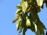 151 A -- avocado tree