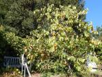 151 A -- persimmon tree